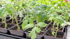 Когда сажать семена помидоров на рассаду