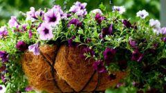Как нужно поливать рассаду петунии