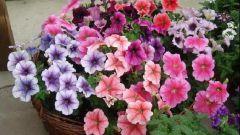 Когда посадить петунию и другие цветы на рассаду в 2018 году по лунному календарю