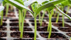 Какие ошибки можно допустить при посеве семян на рассаду