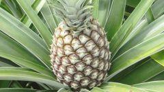 Как самостоятельно вырастить ананас в домашних условиях