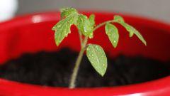 На какую глубину сажать семена помидоров для рассады