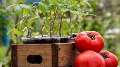 Когда сажать семена помидоров в 2018 году по Лунному календарю
