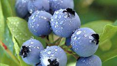 Чем полезна голубика - свойства ягоды и возможность применения