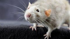 Как избавиться от крыс народными средствами