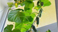 Какие огурцы посадить зимой на подоконнике