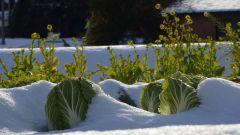 Когда срезать капусту на хранение на зиму