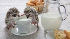 Можно ли давать ёжику молоко