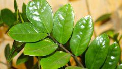 Долларовое дерево: посадка, уход, размножение