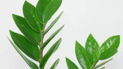 Долларовое дерево: приметы и суеверия, которые могут навредить