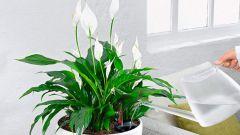 Комнатные растения. Спатифиллум: выращивание и уход