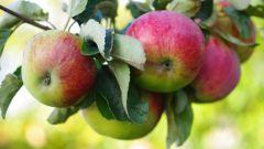 Когда собирать яблоки на хранение