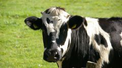 К чему снится корова женщине