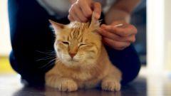 Можно ли чистить уши перекисью водорода кошкам