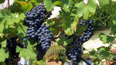 Правила осенней обрезки винограда