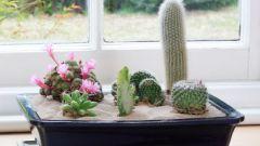 Комнатные растения. Кактусы - выращивание и уход.