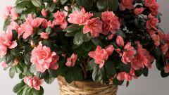 Комнатные растения. Азалия - выращивание и уход