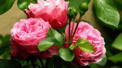 Почему комнатная роза сбрасывает листья?