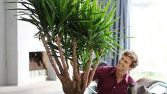 Комнатные растения. Юкка - выращивание и уход