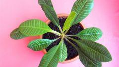 Комнатные растения. Молочай беложильчатый: выращивание и уход