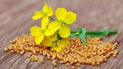 Горчица как зеленое удобрение: польза, посадка и выращивание в осенний период