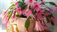 Комнатные растения. Уход за декабристом осенью и зимой