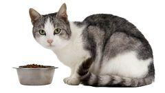 Домашние питомцы. Питание беременной кошки