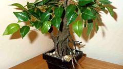 Комнатные растения. Фикус - выращивание и уход