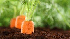 Можно ли садить морковь на зиму и когда