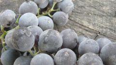 Что делать с виноградом осенью?