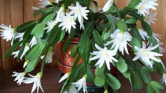 Как заставить декабрист пышно цвести