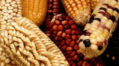 Чем вредна кукуруза