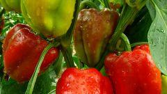 Как вырастить рассаду перца самостоятельно в домашних условиях