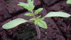 Через сколько дней всходят семена помидоров