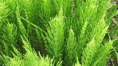 Как сделать и использовать настой хвоща полевого в саду