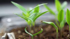 Какая главная ошибка при посеве семян перца на рассаду