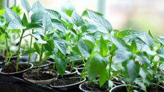 Что не нужно забывать при выращивании любой рассады в домашних условиях