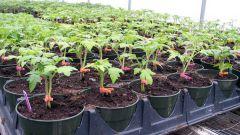 Как правильно посеять томаты на рассаду