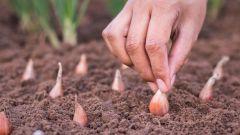 На какую глубину сажать лук-севок весной