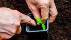 Как правильно пикировать рассаду томатов в домашних условиях