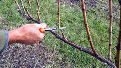 Обрезка винограда весной: пошаговая инструкция