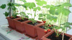 Как вырастить клубнику на подоконнике