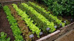 Что надо знать о выращивании салата