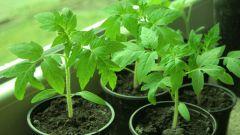 Какие подкормки использовать для рассады томатов