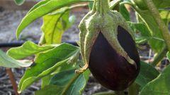 Нужно ли замачивать семена баклажанов перед посадкой на рассаду