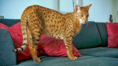 Какая самая большая кошка в мире