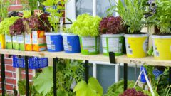 Как посадить салат в контейнер и ухаживать за ним