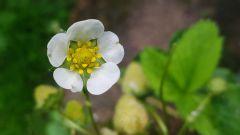 Почему клубника цветет, а ягоды не завязываются