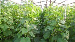 Как вырастить хороший урожай огурцов в теплице