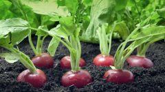 Как вырастить хороший урожай редиса в огороде